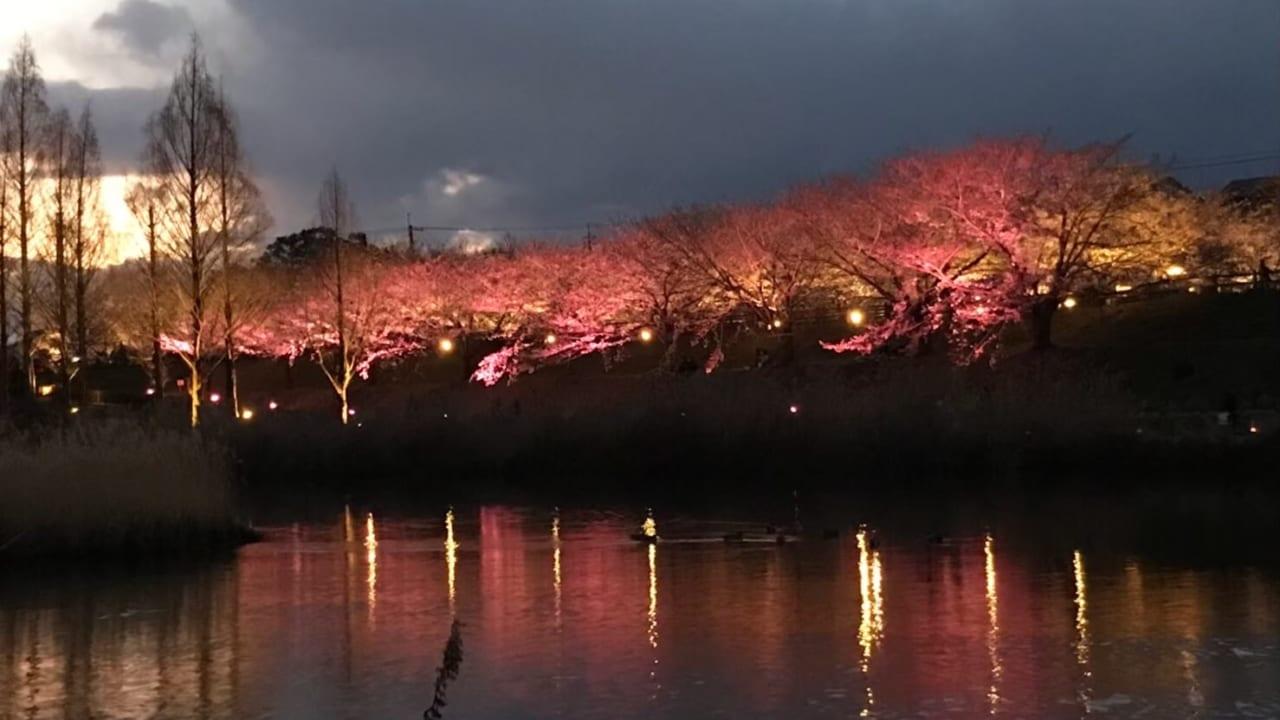 打上川治水緑地桜